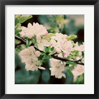 Framed Apple Blossoms I