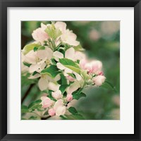 Framed Apple Blossoms II
