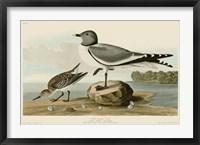 Framed Fork-Tailed Gull