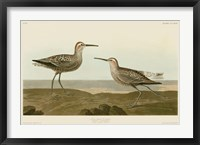 Framed Long-Legged Sandpiper