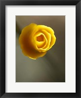 Framed California Poppy II
