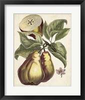 Framed Antique Pear Study I