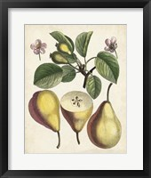Framed Antique Pear Study II