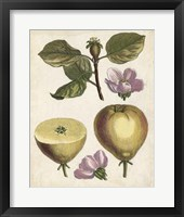 Framed Antique Pear Study IV