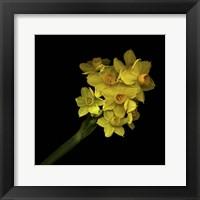 Framed Daffodils - Narcissus