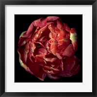 Framed Double Red Tulip