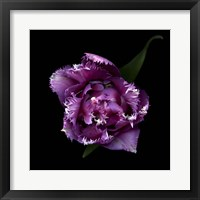 Framed Fringed Pink Tulip