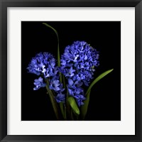 Framed Hyacinth 1