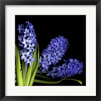 Framed Hyacinth 3