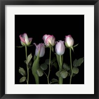 Framed Pink Edged Tulips