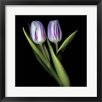 Framed Purple And White Tulips