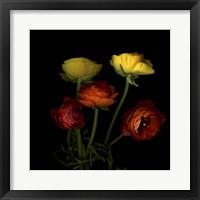 Framed Ranunculus 1
