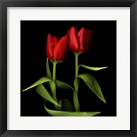 Framed Tulips Embracing