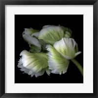 Framed White And Green Parrot Tulip