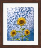 Framed Sunflower Triad