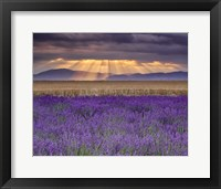 Framed Sunbeams over Lavender