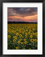 Framed Sunflowers to the Sky