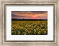 Framed Taps over Sunflowers