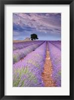 Framed Rows Of Lavender