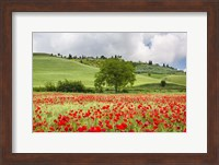 Framed Tuscan Poppies