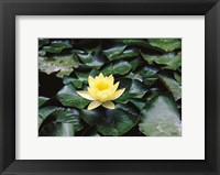 Framed Water Lilly
