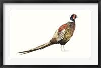 Watercolor Pheasant I Framed Print