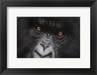 Framed Eyes of Virunga: Mountain Gorilla
