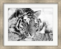 Framed Tiger