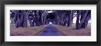 Framed Monterey Cypress Trees, Point Reyes, California