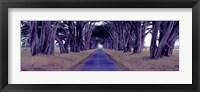 Framed Monterey Cypress Trees, Point Reyes, California