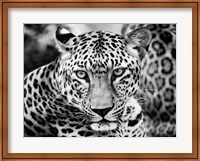 Framed Young Leopard