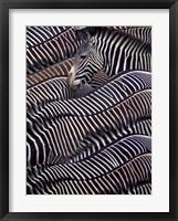 Framed Zebras in Samburu National Reserve, Kenya