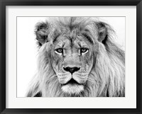 Framed Male Lion