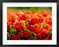 Framed Dominante Rossa