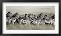 Framed Grant's Zebra, Masai Mara, Kenya