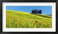 Framed Cypress and Corn Field, Tuscany, Italy