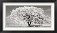 Framed Lime Tree with Frost, Bavaria, Germany