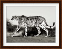 Framed Cheetah, Namibia, Africa