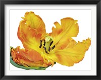 Framed Parrot Tulip Close-Up