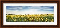 Framed Sunflower Field, Plateau Valensole, Provence, France