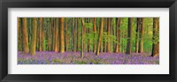 Framed Beech Forest With Bluebells, Hampshire, England