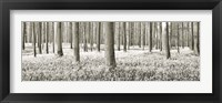 Framed Beech Forest With Bluebells, Belgium