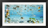 Framed Fish and sharks in Bora Bora lagoon