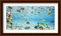 Framed Fish and sharks in Bora Bora lagoon