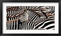Framed Herd of Zebras