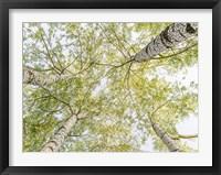 Framed Birch Woods in Spring