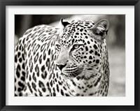 Framed Portrait of Leopard, South Africa