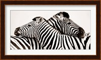 Framed Zebras in Love