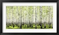 Framed Birch Forest in Spring