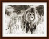 Framed Male Lion
